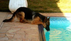 bebendo água da piscina.
