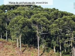 Floresta de pinheiros.