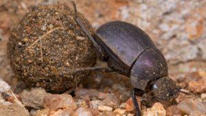 Escaravelho, vulgo rola-bosta