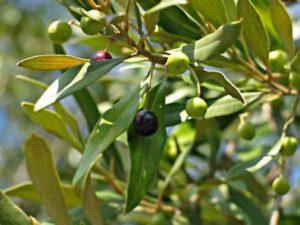 oliveira-e-seus-frutos