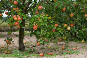 macieira-com-frutos