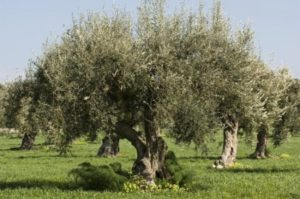 oliveira-centenária